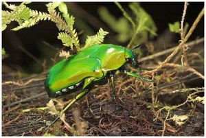 https://unehunikdananeh.files.wordpress.com/2011/05/an-iridescent-beetle-mount-bosavi-amazing-pictures-nature.jpg?w=300